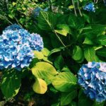 Kk my love for hydrangeas is getting really out ofhellip