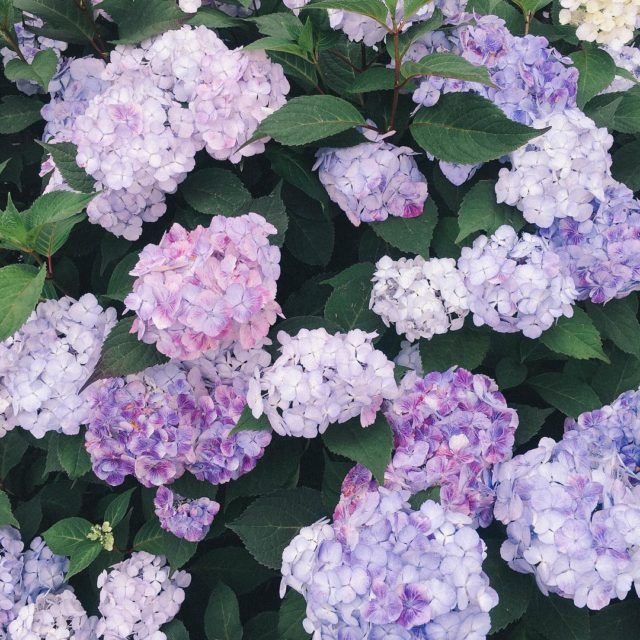 Id like all of the hydrangeas please and thank youhellip