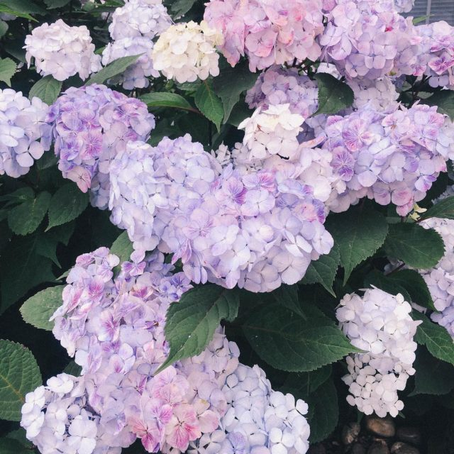 Theres nothing I love more than a hydrangea bush inhellip